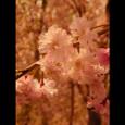 ayacolor 2005 sakura